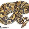 adult male ball python for sale