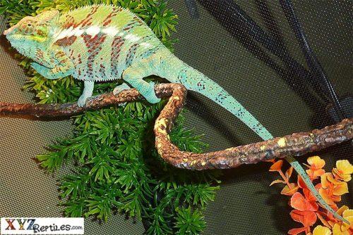 popular lizards for sale
