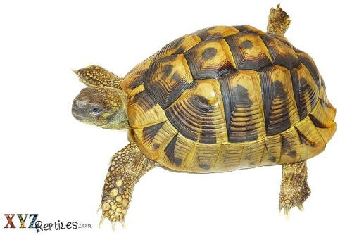 tortoise for sale