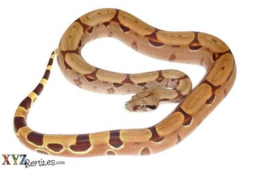 exotic boas for sale