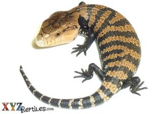 Baby Irian Jaya Blue Tongue Skink