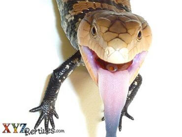 Baby Irian Jaya Blue Tongue Skink for sale