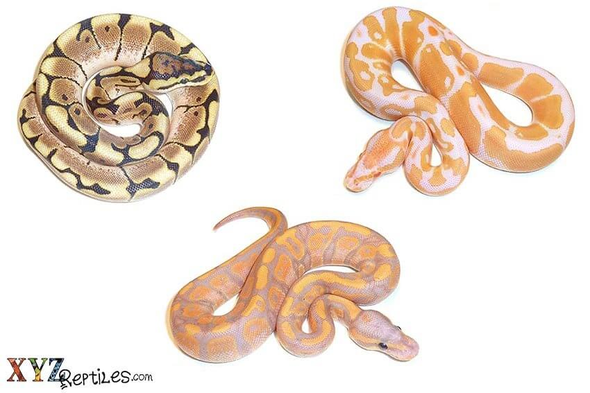 ball python morphs for sale