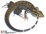 Columbian Black and White Tegu For Sale