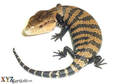 reptiles for sale