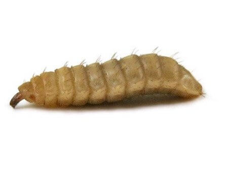 calci worms for sale