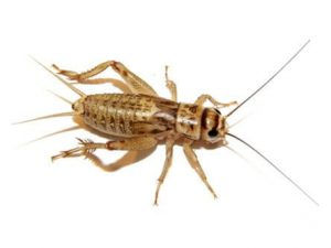 Feeder Crickets For Sale