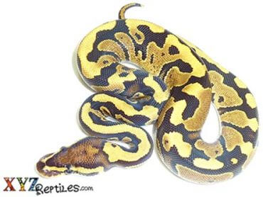 fire ball python for sale