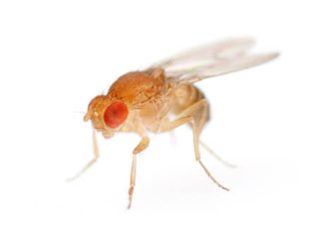 fruit flies for sale