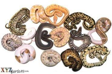 history of ball python morphs
