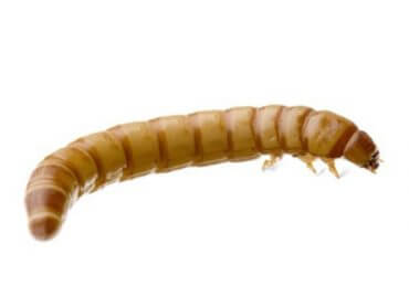 Live Mealworms For Sale 50 Count Cup