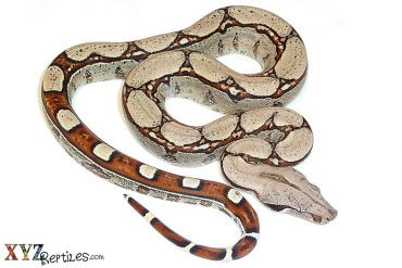 what do boas for sale eat