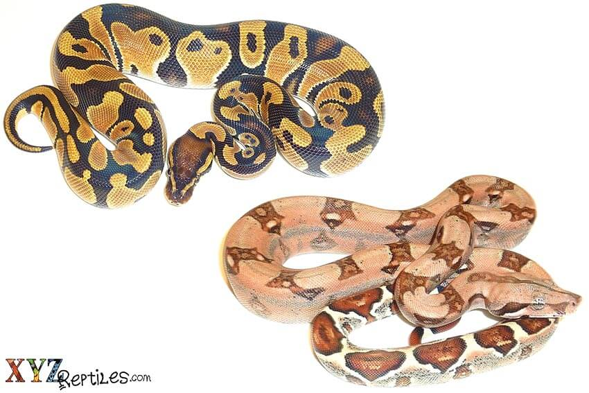 ball pythons or boas