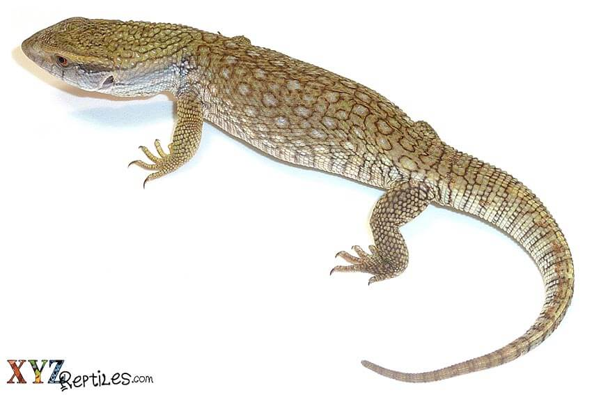What Are Some Of The Best Large Lizards For Sale?