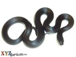 Mexican Black Kingsnake For Sale