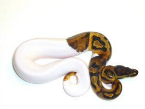Baby Pied Ball Python ap001