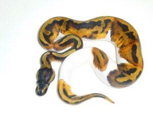 Baby Pied Ball Python ap003