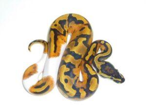 Baby Pied Ball Python ap006