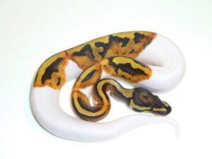 Baby Pied Ball Python ap007