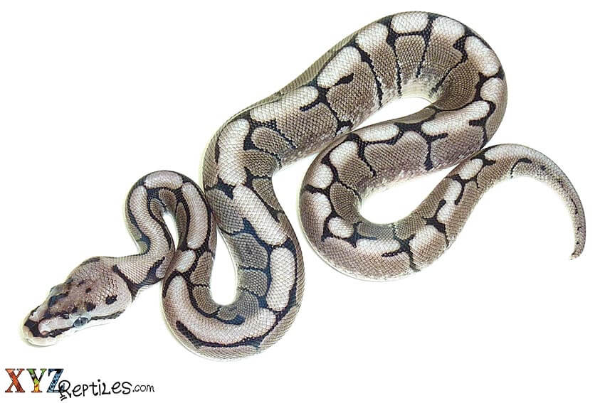 What Are The Best Snakes For Sale Options As Pets?