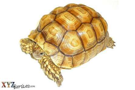 How To Keep Pet Tortoises For Sale Safe And Healthy