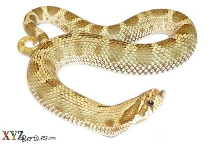 anaconda-hognose-snake-for-sale-bog-12-18
