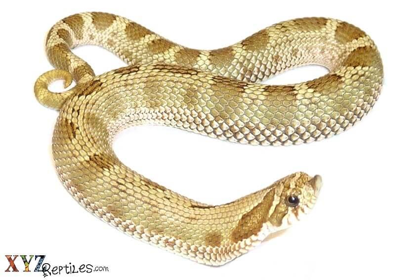 anaconda-hognose-snake-for-sale-bog-12-18