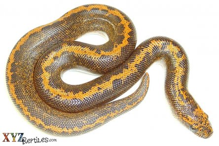 Should boas for sale eat live or frozen prey