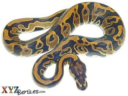 leopard ball python for sale