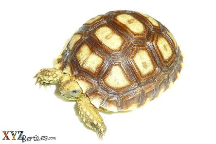 How Big Will Tortoises For Sale Grow