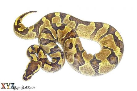 How-To-Properly-Handle-Pet-Ball-Pythons-For-Sale