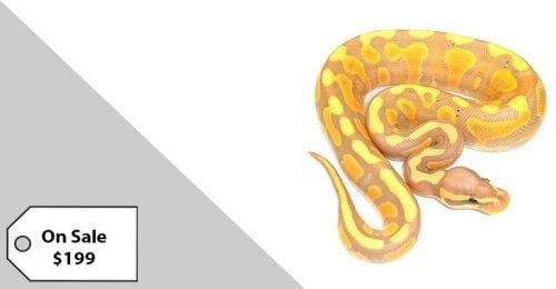 baby banana ball python for sale