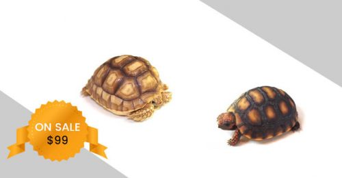 red-foot-sulcata-tortoise-mobile