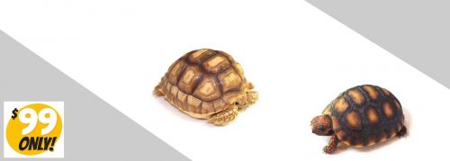 red-foot-sulcata-tortoise-slide