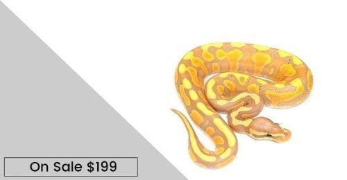 baby banana ball pythons for sale