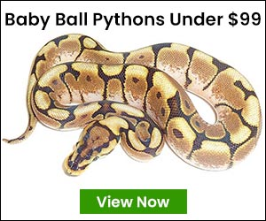 cheap ball pythons for sale