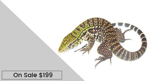black and white tegu for sale