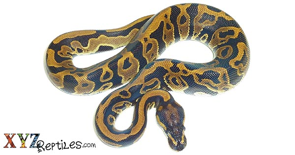 why do ball pythons shed