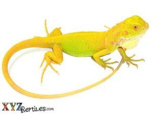 albino iguana for sale
