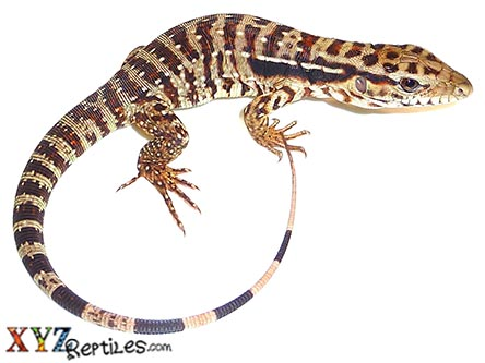 argentine red tegu for sale