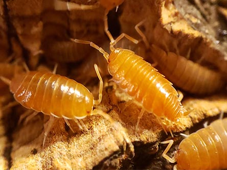 owder orange isopods for sale Porcellio pruinosus
