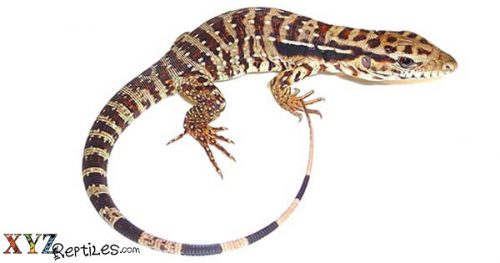 Where to find baby tegus for sale?