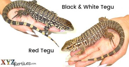 What's A Better Reptile Pet, Red Tegu Or Black And White Tegu?