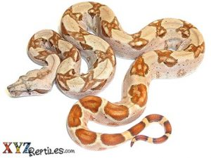 baby hypo Columbian boa constrictor for sale 3.jpg baby hypo Columbian boa constrictor for sale 1.jpg baby hypo Columbian boa constrictor for sale.jpg