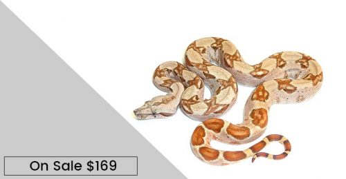 baby hypo columbian red tail boa constrictor