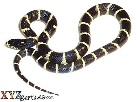 Kingsnakes for Sale | King Snake Morphs | King Snakes for Sale Online
