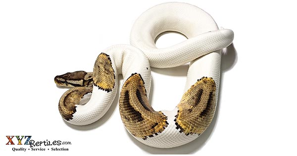 finding adult ball pythons for sale