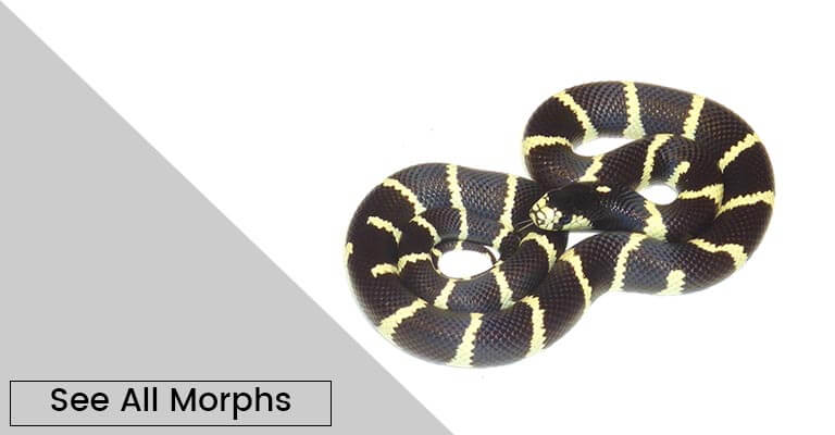 Reptiles for Sale | Online Reptile Store | Reptile Pets
