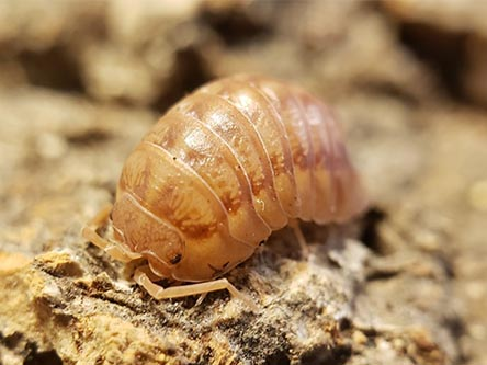 peach isopods for sale Armadillidium nasatum