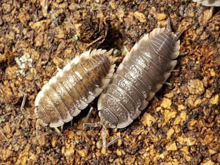 sevilla isopods for sale Porcellio sp